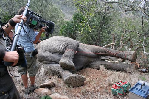 Five tonnes of snoozing bull elephant