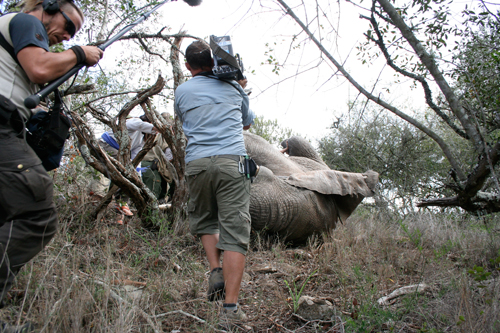 Filming the elephant as it is being turned over