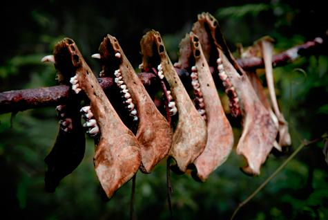 Wild boar jawbones on the edge of Merengman territory